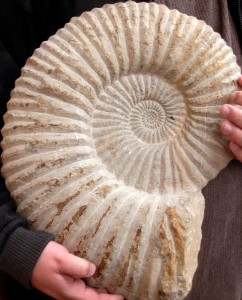 ammonite fossile